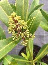 SKIMMIA KEW GREEN - 2 LITRE LARGE PLANT