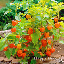 VEGETABLE - CAPE GOOSEBERRY - 220 seeds - Physalis peruviana