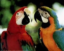Macaw Parrots (Scarlet and blue/Gold) - 10x8 In. Photo Art Print