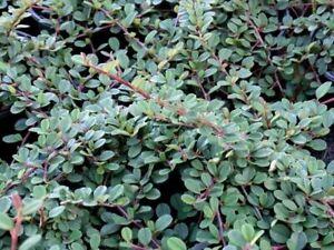 25 Stück Teppichmispel, Zwergmispel Cotoneaster dammeri Freeders Evergreen