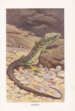 Perl lucertola Timon Lepidus stampa a colori di 1913 lucertole rettili W. Kuhnert