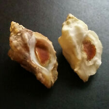 two Murex (Ceratostoma) nuttalli, 36mm and 38mm, both with operculum