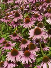 Sonnenhut purpurea kompakt rosa XXL Super Größen Pack X3 Echinacea