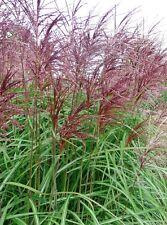 40+ Samen Chinaschilf (purpur/rot) - Ziergras bis 2,5 m - Miscanthus sinensis