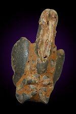 Mud Lobster fossil Thalassina anomala Gunn Point Northern Territory Australia 2