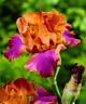 Berennial Iris 2 Bulbs Perennial Impressive Bare Roots Plant Flower Blooms Yard