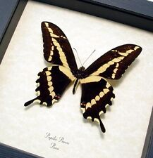 Real Framed Papilio Paeon Rare Peruvian Butterfly 8259
