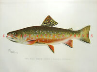 SPECKLED EASTERN BROOK TROUT ~  1897 Sherman Denton Game Fisherman Art Print RA