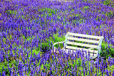 STUNNING LAVENDER FIELD BENCH CANVAS #340 QUALITY LANDSCAPE PICTURE WALL ART