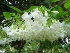 30 Seeds Mok Flower Tree Wrightia religiosa Very fragrant rare seed