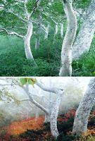 asiatische Birke - Schön und knorrig wachsender Baum mit weißem Stamm / Samen