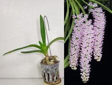 POTTED RHYNCHOSTYLIS RETUSA, ORCHID PLANT, RARE, YARD, GARDEN