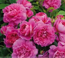 50 Rare 'Princess Anne' Bonsai Dark Pink Double Rose with Fragrant Flower Seeds