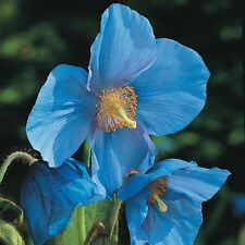 50 Meconopsis Seeds Grandis Blue Poppy Seeds