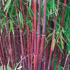 Red Umbrella Bamboo Hardy Garden Plant Easy to Grow 9cm Potted Plant T&M