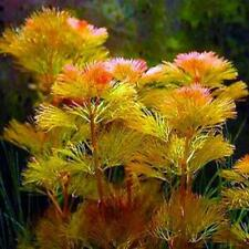 Red Cabomba Piauhyensis Furcata Fanwort Bunch Live Aquarium Plants Buy2Get1Free*