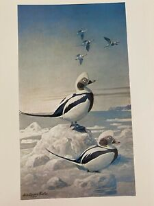 "Louis Agassiz Fuertes & The Singular Beauty of Birds, ""Oldsquaws"" Print"