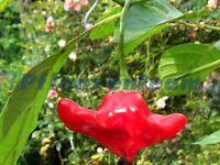 Glockenchili - Bischofsmütze - Blumenchili - 15 Samen - Schärfe 3 bis 5 von 10