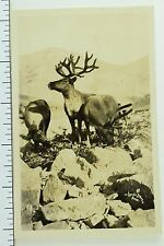 Circa 1920's Rppc Wild Moose in Nome, Alaska Real Photo Postcard P33
