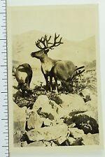 Circa 1920's Rppc Wild Moose in Nome, Alaska Real Photo Postcard P33