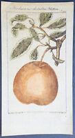 1774 Comte de Buffon Antique Botanical Print of a Round Pear Tree