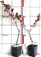 "Prunus cerasifera. ""Nigra""  -   Blutpflaume dunkelrotem Laub"