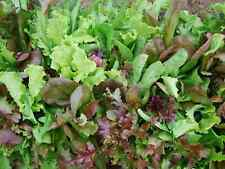 "Lettuce Seeds ""Mesclun Mix"" (Appox 500 Seeds) Excellent Green Salad"