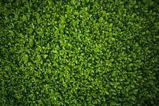 Common Privet (Ligustrum Vulgare) approx 50 seeds