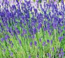 Lavender Seeds 100+ Herbs perennial garden Plants Aroma Culinary Free Shipping