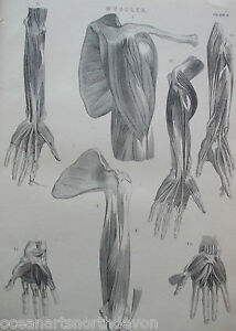 ANTIQUE PRINT C1880'S MUSCLES HUMAN BODY ARMS & HANDS MEDICINE BIOLOGY ENGRAVING