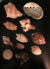 11 Sea Shells Including Conch Abalone & Cowrie