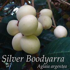 ~SIVER BOODYARRA~ Aglaia argentea RARE EXOTIC Papua New Guinea Live potted PLANT