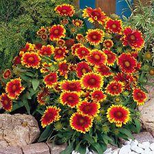 Gaillardia 'Goblin' - 100 Seeds - Hardy Perennial