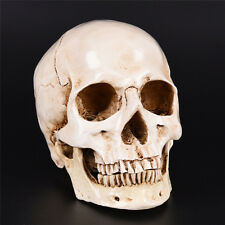 Human Skull Replica Resin Model Medical Realistic Lifesize 1 1