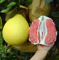10Pcs Grapefruit Fruit Seeds Ordinary Kind Organic Tasty Citrus Annual Garden