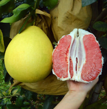 10Pcs Grapefruit Fruit Seeds Ordinary Kind Organic Tasty Citrus Annual Garden