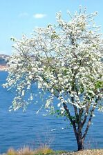 Dwarf White Bauhinia, snowy orchid tree exotic flower bonsai plant seed 15 seeds