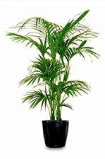 Kentia Palme - Howea Forsteriana - Zimmerpflanze - Größenauswahl