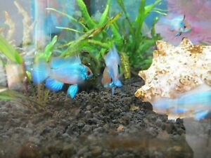 Electric Blue Ram Cichlid Juvenile - Bred in USA - Free Shipping