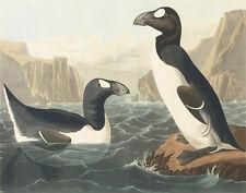 Audubon James John Great Auk Canvas 16 x 20  #5683