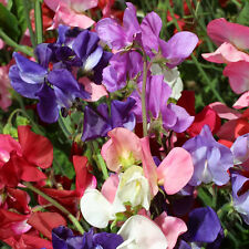 Kings Seeds - Sweet Pea, Incense Mixed - 20 Seeds