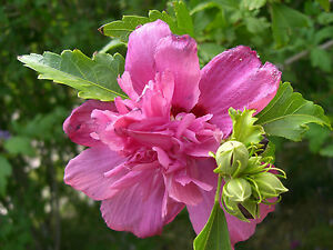 Rose Of Sharon Seeds * Mixed Colors* Perennial * Hardy