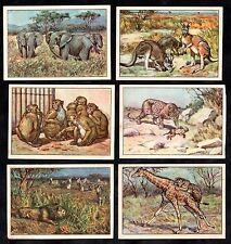 Wild Animals Card Set 1928 Echte Marg Elephant Giraffe Tiger Lion Ape Kangaroo