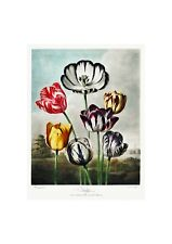 Tulips Flowers Floral Temple of Flora Botanical Anthropology Print by Thornton