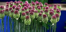 Allium Sphaerocephalon (Drumstick Allium) x 20+ seeds. Green-pink-purple flowers