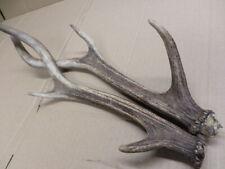 More details for scottish red deer pair of antlers belongs to the same deer