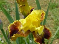 tall bearded iris Yellow striped Only One