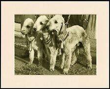 BEDLINGTON TERRIER THREE LITTLE DOGS LOVELY DOG PRINT MOUNTED READY TO FRAME