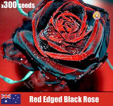 Black Red Edged Rose Seeds Rare Flower Unusual Plant X300 Seed Heirloom Organic