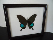 Real Butterfly Paris Peacock Papilio Paris Lepidoptera Entomology Taxidermy